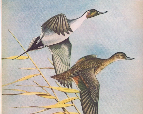 American Pintail Ducks Painting in Sports Afield 1946 series by Angus H. Shortt
