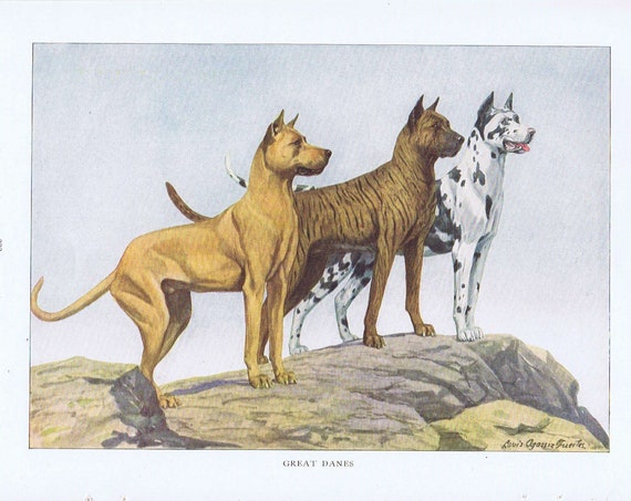 Old Dog Drawing of 3 Great Danes 1919 Magazine Art by Louis A. Fuertes