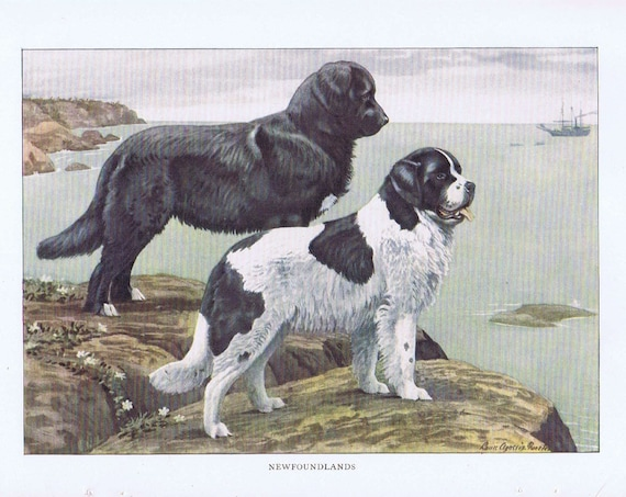 Old Dog Drawing of 2 Newfoundland 1919 Magazine Art by Louis A. Fuertes