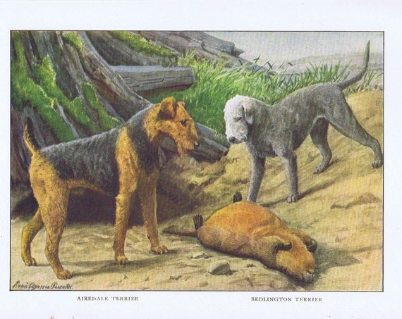 Old Drawing of Bedlington and Airedale Terrier Dogs 1919 Magazine Art by Louis A. Fuertes