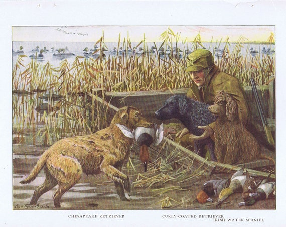 Duck Hunter and Irish Water Spaniel, Curly-Coated Retriever and Chesapeake Retriever Neat 1919 Magazine Art by Louis A. Fuertes
