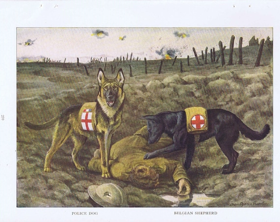 WW1 Drawing with Red Cross Police Dog and Belgian Shepherd and Soldier 1919 Magazine Art by Louis A. Fuertes