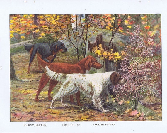Old Setter Dog Drawings of Gordon Setter, Irish Setter and English Setter Breeds 1919 Magazine Art by Louis A. Fuertes