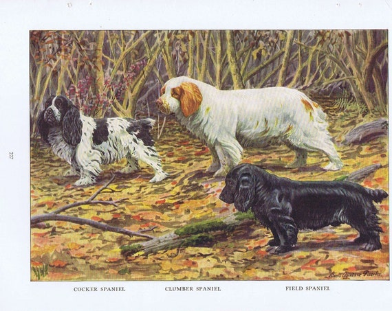 Old Dog Drawings of Field Spaniel, Clumber Spaniel and Cocker Spaniel Breeds 1919 Magazine Art by Louis A. Fuertes
