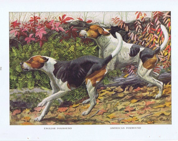 Old Dog Drawings of English Foxhound and American Foxhound Breeds 1919 Magazine Art by Louis A. Fuertes