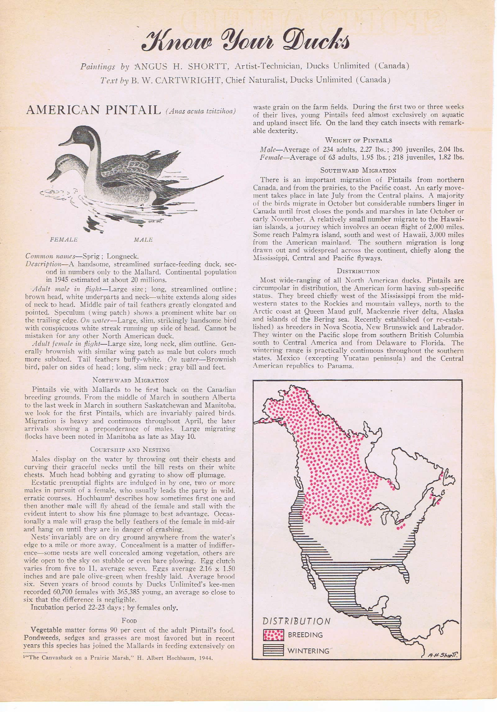 American Pintail Ducks Painting in Sports Afield 1946 series ...