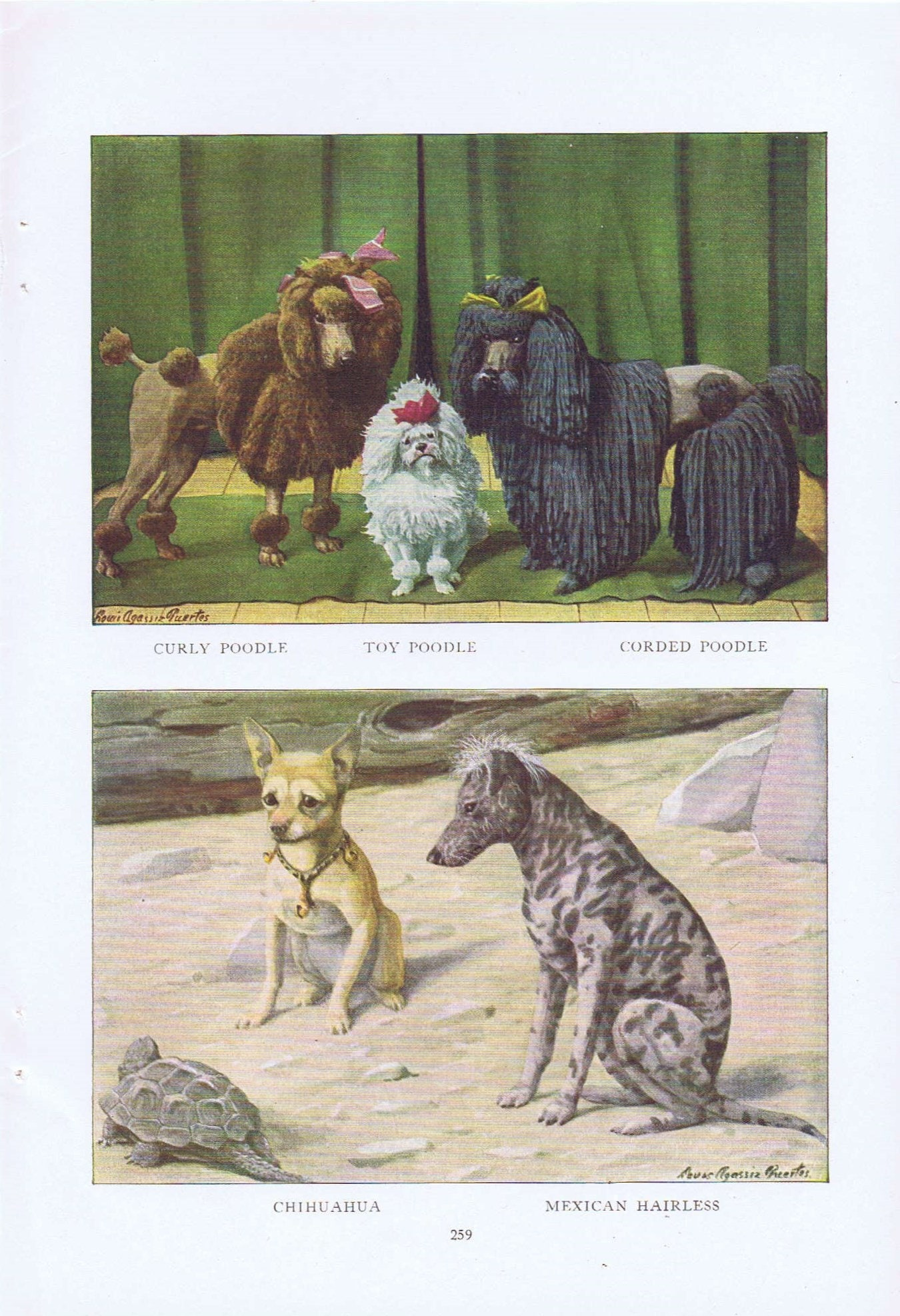 Old Dog Drawings Of Mexican Hairless Chihuahua Corded Poodle Toy