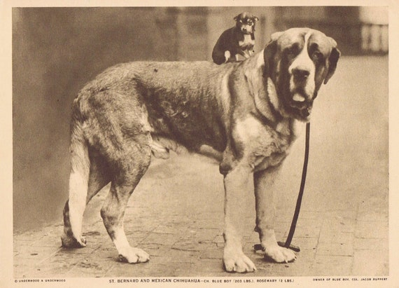 1918 St. Bernard and Mexican Chihuahua Sepia Tone Magazine Photo with Bonus Big Dogs Description Page