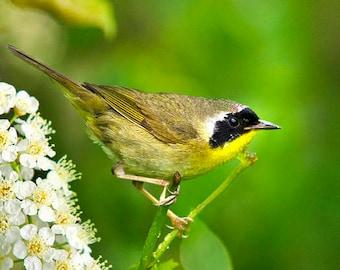 Common Yellowthroat Warbler, Warbler Print, Bird Photography, Photography Print, Fine Art Photograph, Nature Gifts, Bird Art Print, Wall Art