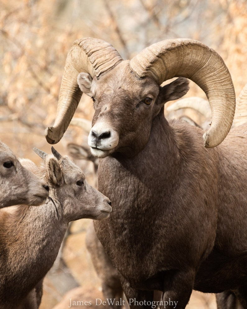 Family Time-Fine Art Photography-Wildlife Photography-Bighorn image 0
