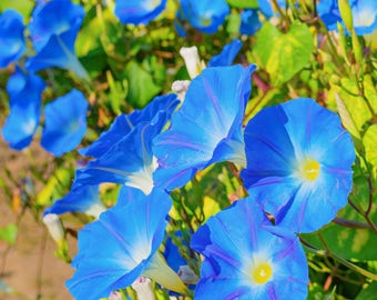 Morning Glory Seed heavenly blue untreated seed