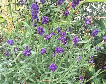 Lavender Tincture