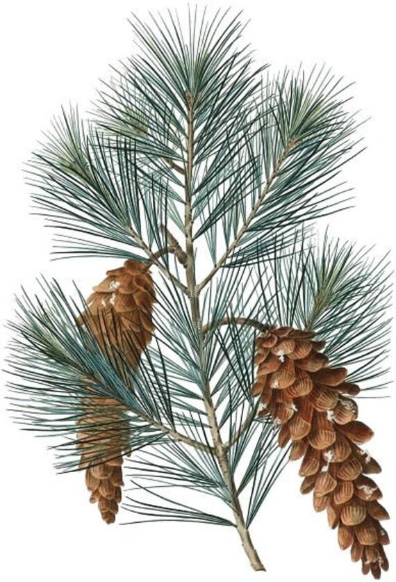 Pine Branch Print Pine Cone Poster Pine Printable Etsy