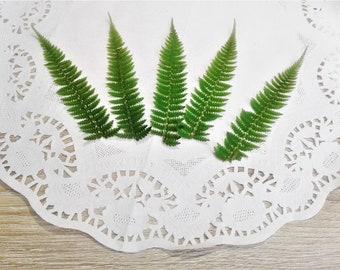 Pressed Feather Fern, Green leaves, Dried fern