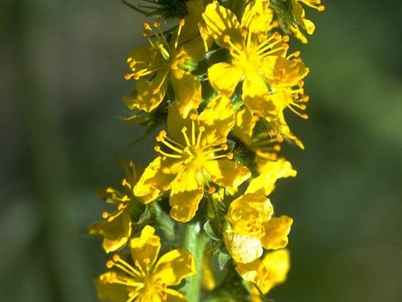 25 seeds per pack Agrimony Agrimonia eupatoria Organic seeds GMO Free