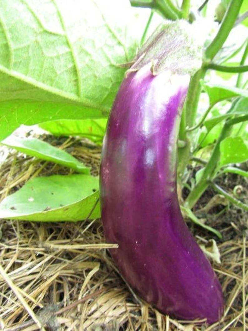 Ping tung long 4in potted plant Ping Tung Long Eggplant GMO Free Eggplant Organic solanum melongena heirloom