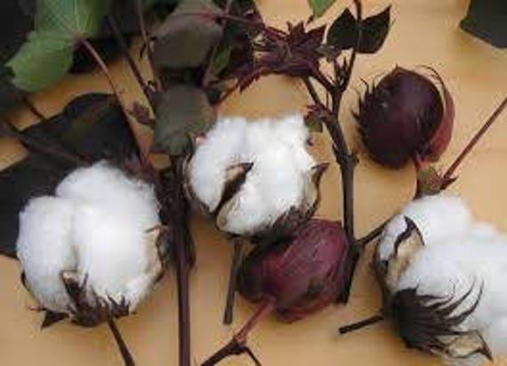 GMO Free Red Foliated Gossypium Hirsutum Organic 10 seeds Cotton Heirloom