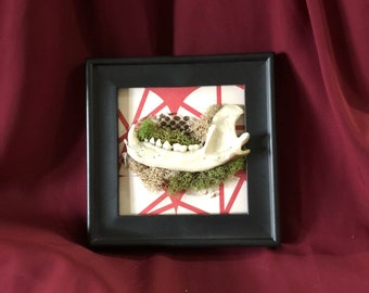Framed raccoon jaw   Vulture Culture