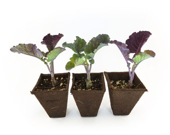 3 Rooted Purple Tree Collards Plants