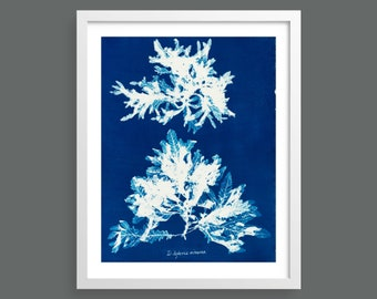 Algae Cyanotype by Anna Atkins | Vintage photographic botanical art print for nature lovers