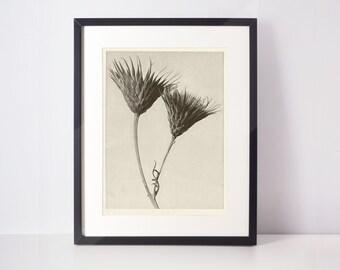 Bare-stemmed Common Saw-wort - Art Forms in Nature by Karl Blossfeldt | Botanical print, wall art, room decor, black & white, photograph