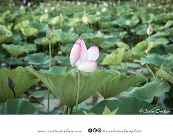 Lotus Flower Photograph, Kenilworth Park and Aquatic Gardens in Washington, DC |  Digital Download, Printable Wall Art, Home Decor