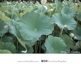 Lotus Flower Leaves Digital Print, Kenilworth Aquatic Gardens in Washington, DC, Nature Photography | Printable Wall Art, Instant Download