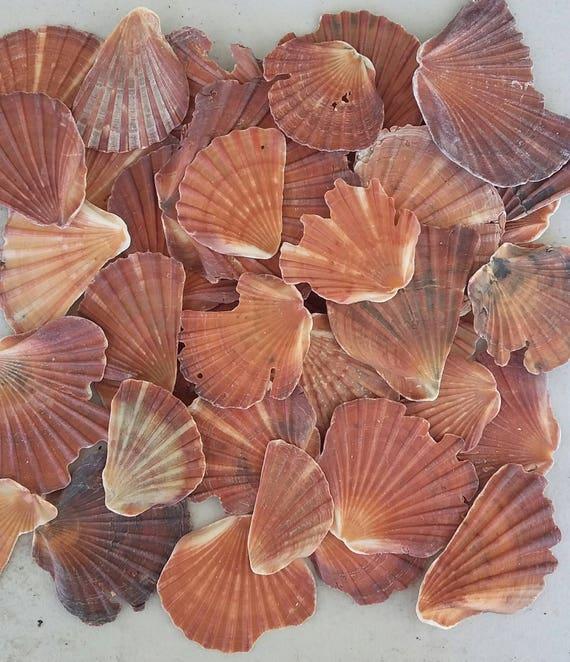 Australian Seashells 300 grams Seashell Fragments- Seashells Seashell Craft Natural Shells Seashell Decor