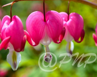 Bleeding Heart Photograph Photo Macro Photography Home