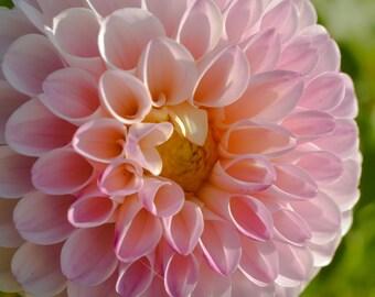 Flower Photography, Pink Dahlia, Autumn Flowers, Garden Photography, Nature Photography, Large Pink Flower Photo, Home Decor, Wall Art