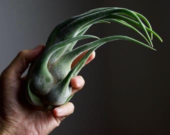 Fuzzy Witch Claw Air Plant   Tillandsia Seleriana