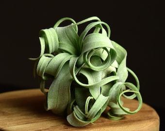 Tillandsia Streptophylla | Linguine Plant | UNUSUAL Curly Air Plant