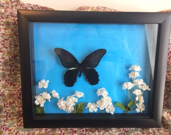 Real Framed Graphium Eurypylus Butterly in 8x10 Frame