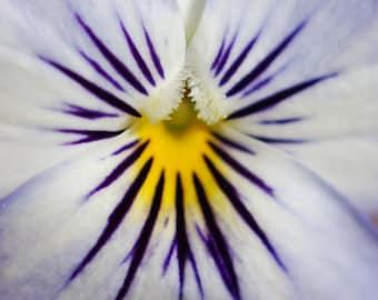 Viola - flower photograph - art botanical nature photography macro photo