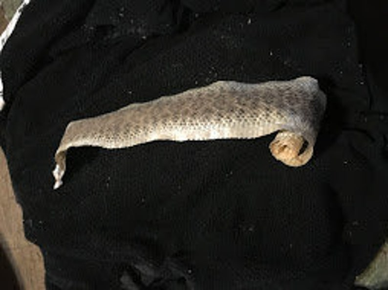 Without Rattler Texas Western Diamondback Rattlesnake Skin