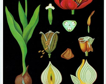 Ancient School Poster Botanical Plant Tulip, Bulb Jung-Koch-Quentell, 8,26 x 11,41 inches + ou -  1990.Old School Poster Map Botanical