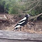 Magpie aluminium bird - garden art - no rust