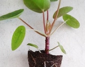 One, Live, Pilea peperomioides Plant 2 quot pot Chinese Money Plant Panckake Plant UFO Plant FREE SHIP