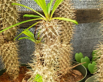 Branched Pachypodium Lamerei   Madagascar Palm   This Plant   Ships Bare Root
