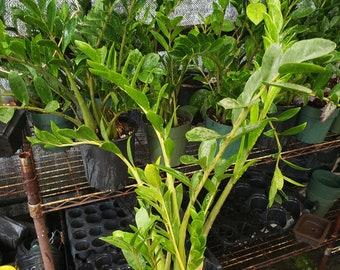 Dwarf ZZ Plant   Zamioculcas Zamifolia   Gallon Size