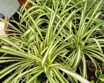 Chlorophytum Comosum Spider Plant Variegated   Airplane Plant   Bernard's lily   Spider Ivy   Ribbon plant   Bare Root