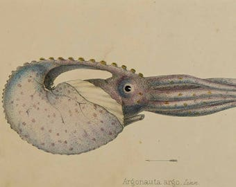 Antique print from !860,  Elements of conchology. Octopus print.