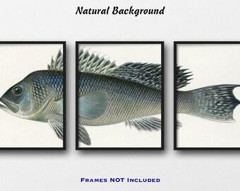 Sea Bass Print Set - Set of 3 Giclee Fish Prints, Fishing Wall Art - Fisherman Gift - Lodge Decor - Angler Gift - Sea Bass Triptych Poster