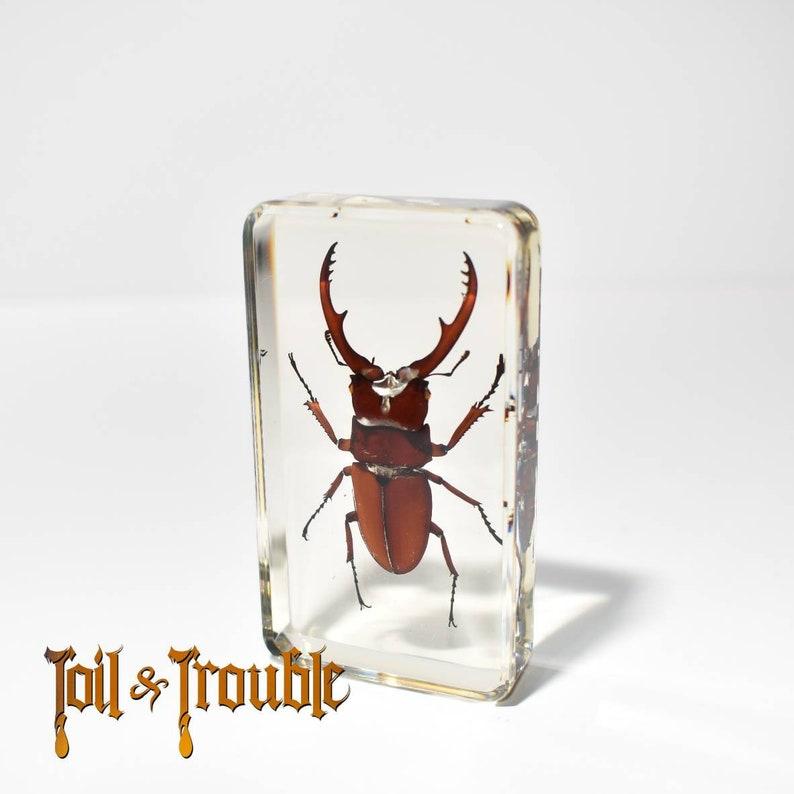 REAL Tarantula in Decorative Acrylic Block-Taxidermy Paperweight-Halloween