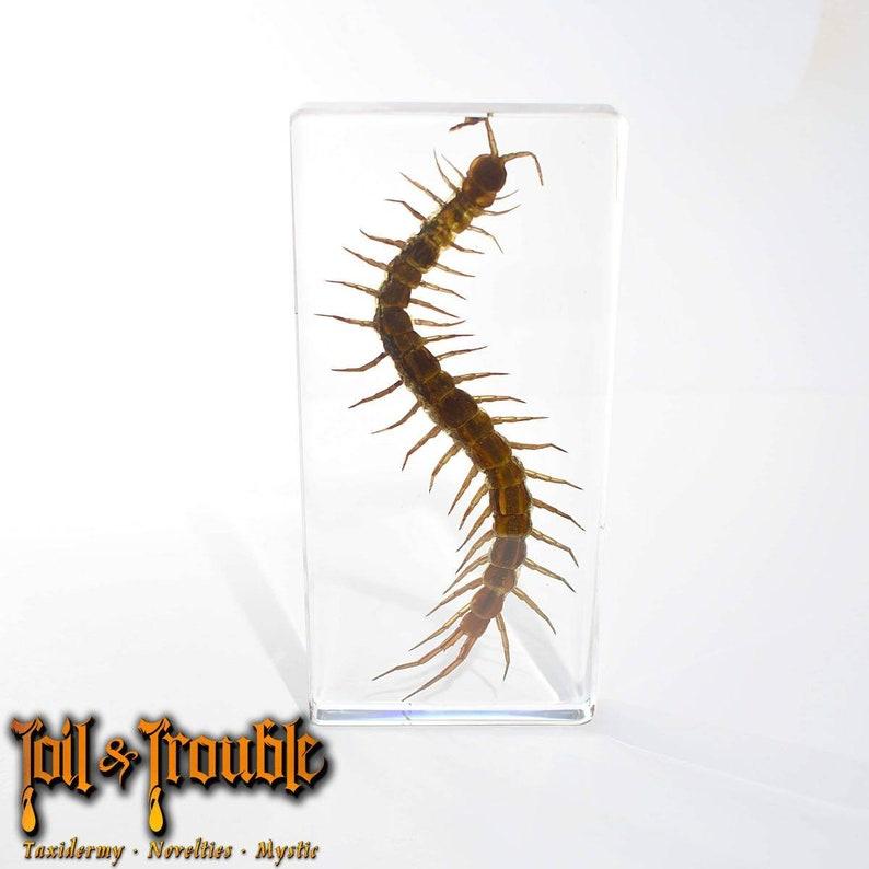 Real Giant Centipede Specimen