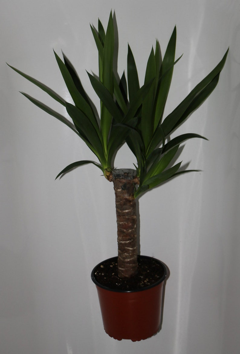 Super Spineless Yucca Yucca elephantipes in a 5Litre 20cm dia Pot | Etsy LM05