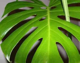 Swiss cheese plant (Monstera deliciosa) Large House Plant 1 - 20  Litre Potted Sizes.