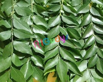 Fresh ORGANIC Indian Curry Leaves (Kari Patta) TEXAS GROWN!! (These are stems, Not a Plant nor cuttings to grow)
