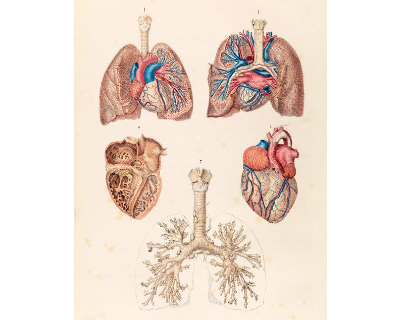 Vintage Anatomical Poster Human Anatomy Chart Heart Lungs Etsy