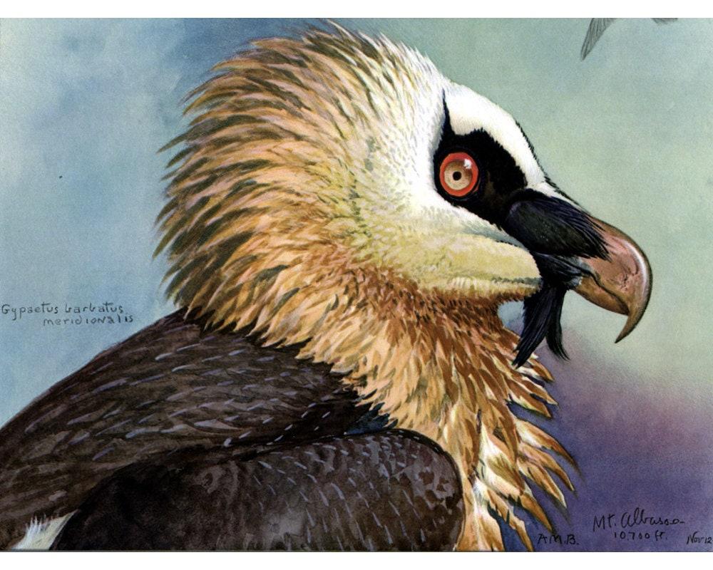 Vulture Art Print Louis Agassiz Fuertes Abyssinian Birds Etsy